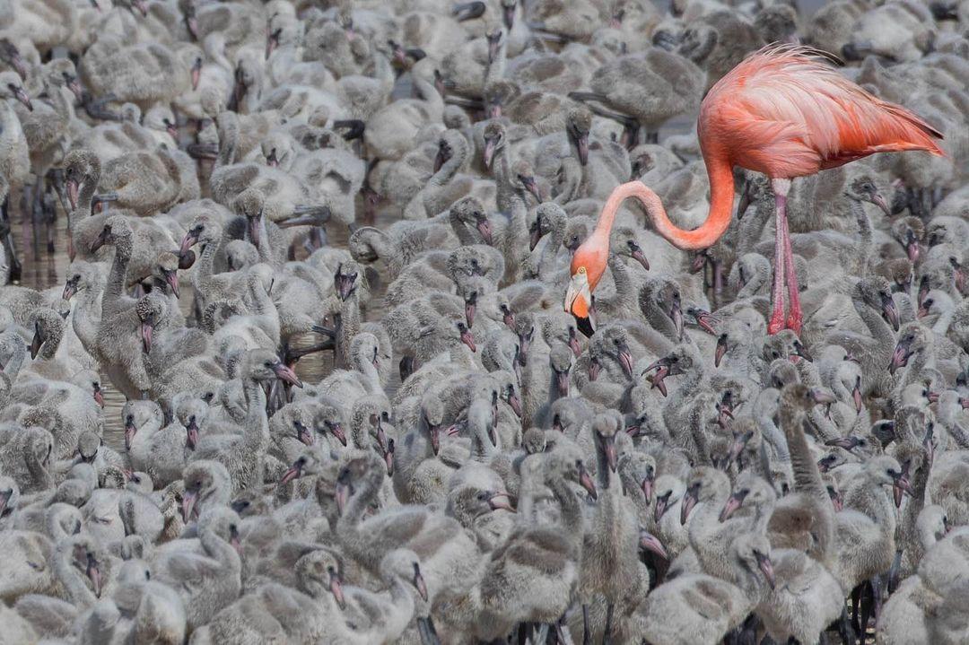 flamingos en yucatan y sus crias