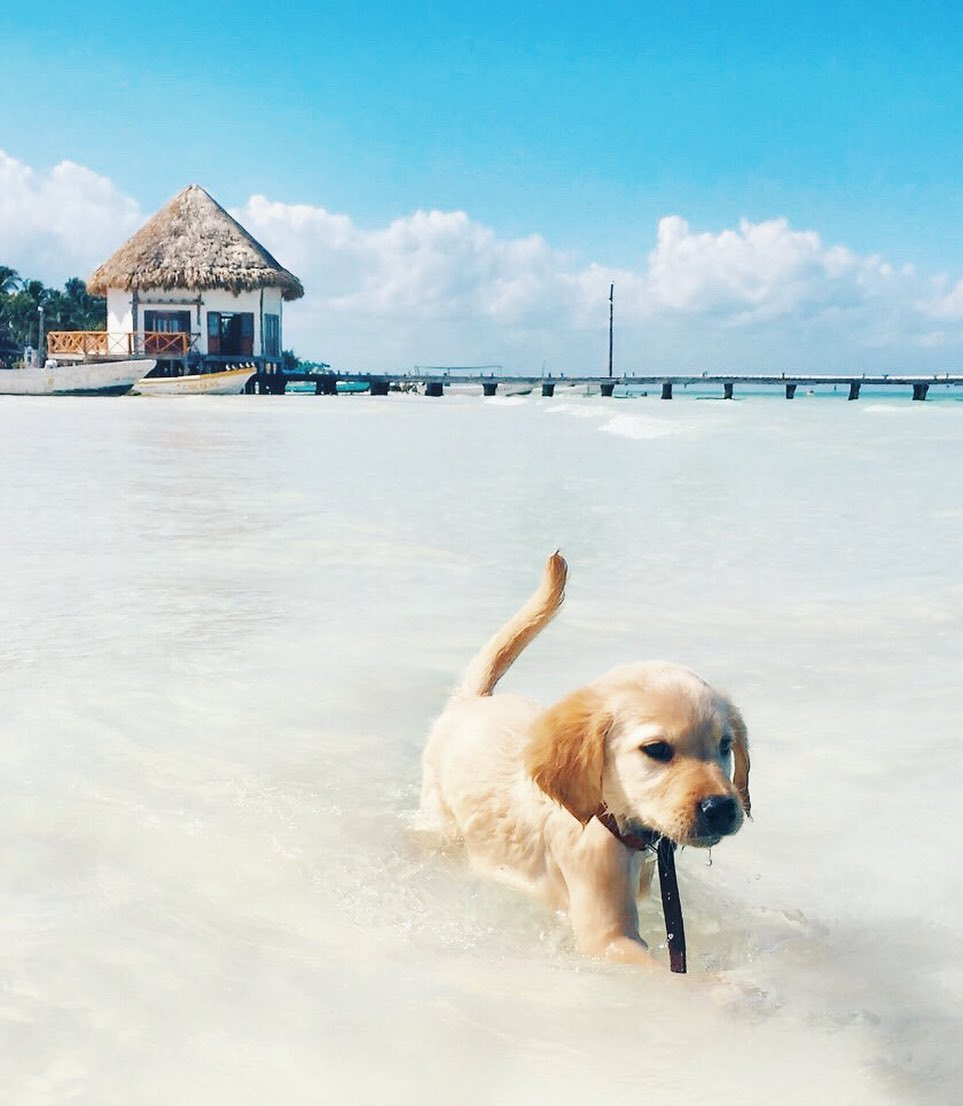 murph holbox, perro de holbox, golden retriever isla holbox dog, top yucatan murphy