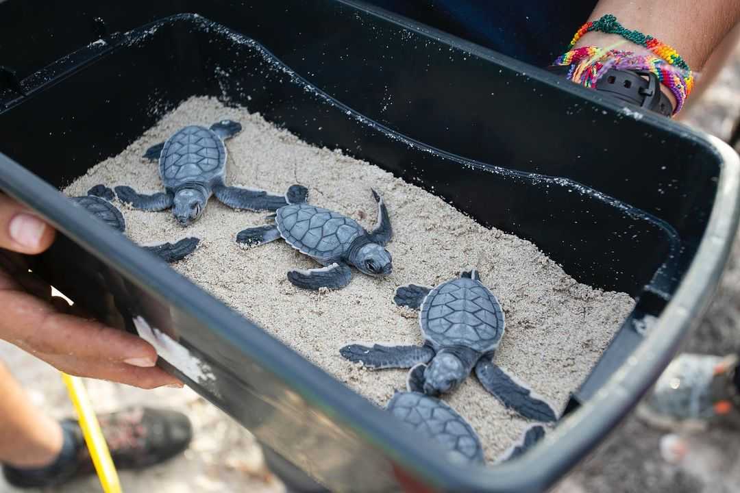 que hacer si me encuentro una cria de tortuga marina