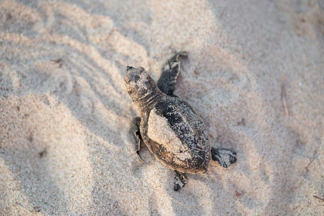 tortugas en peligro de extincion