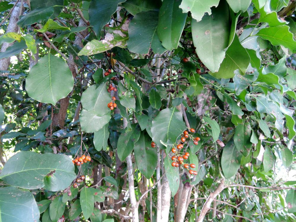árbol chechén hojas