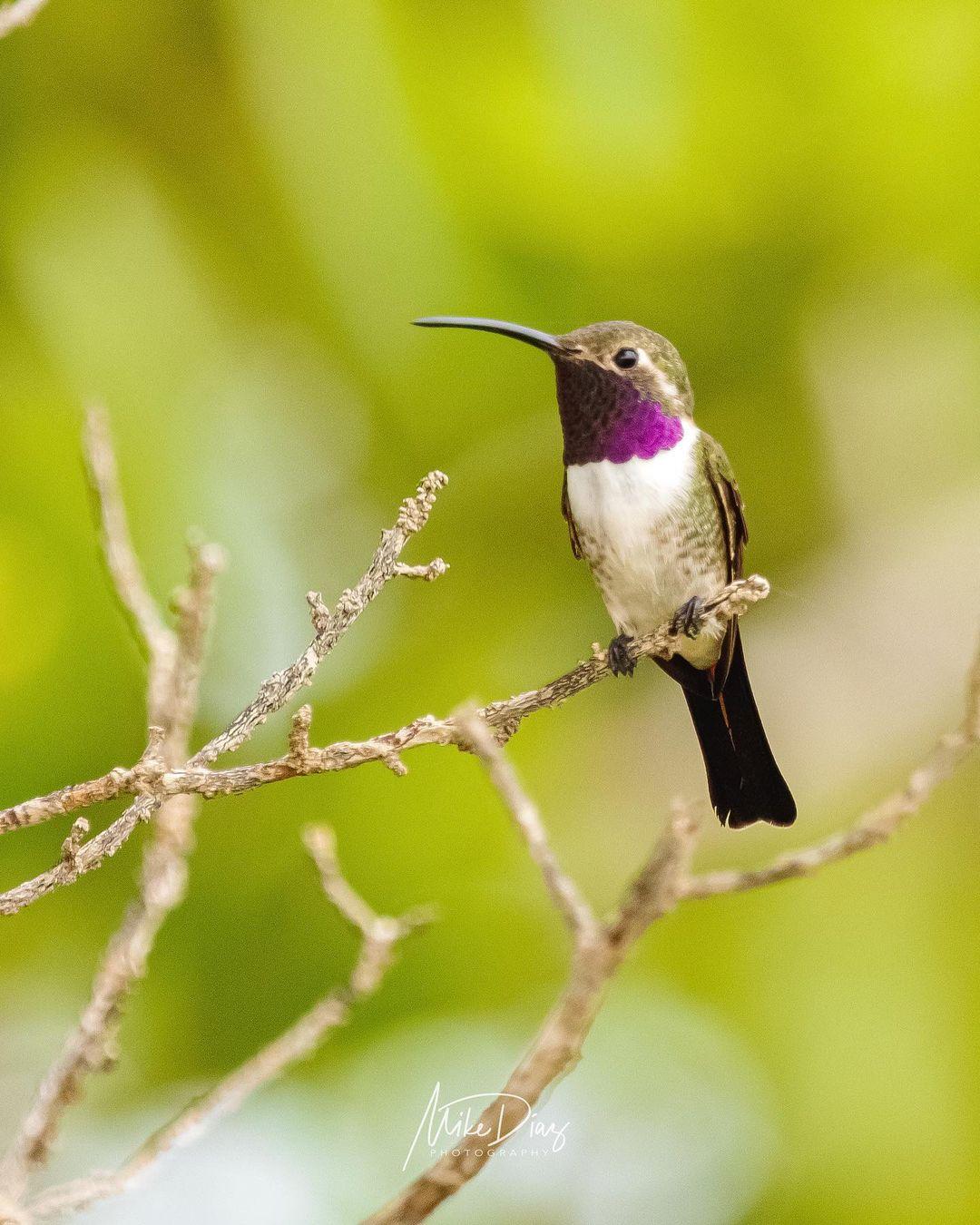 colibri tijereta