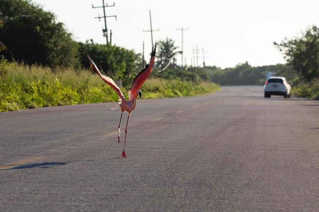 ¿Qué hacer en caso de encontrarse a un Flamenco en la carretera?