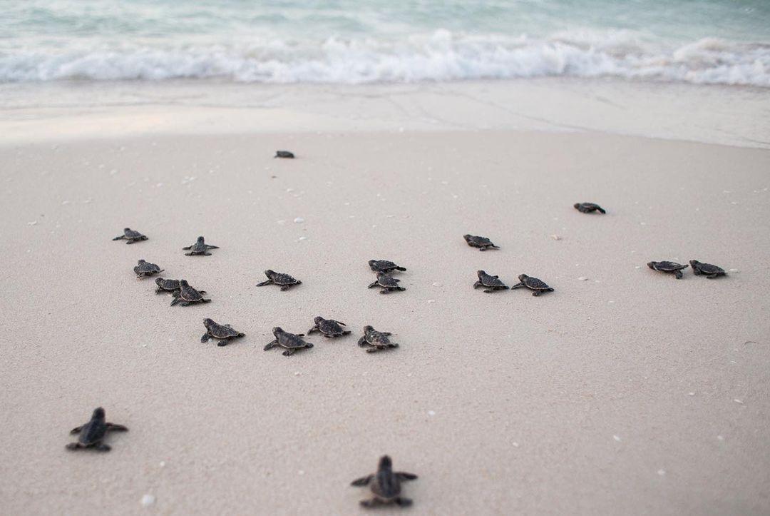 🐢¿Qué hacer en caso de ver una cría de Tortuga Marina?🐢